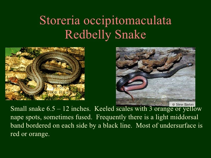 Storeria occipitomaculata Redbelly Snake Small snake 6.5 – 12 inches.  Keeled scales with 3 orange or yellow nape spots, s...