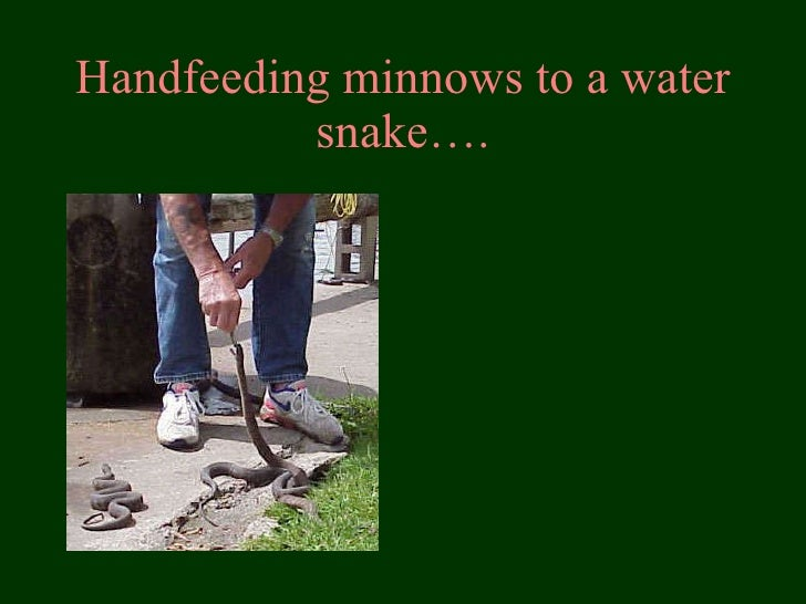 Handfeeding minnows to a water snake….