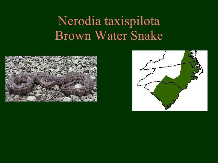 Nerodia taxispilota Brown Water Snake