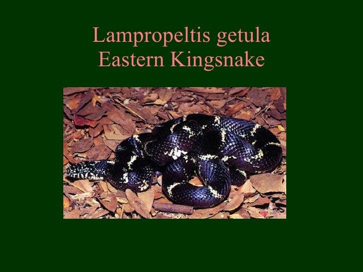Lampropeltis getula Eastern Kingsnake