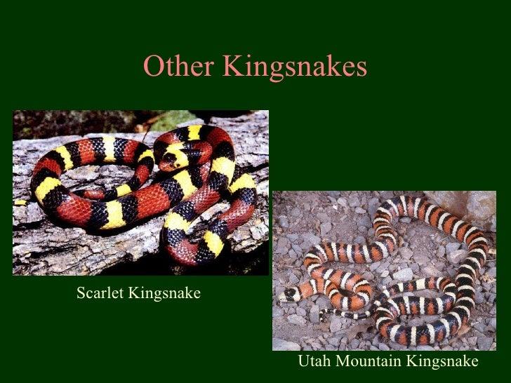 Other Kingsnakes Scarlet Kingsnake Utah Mountain Kingsnake