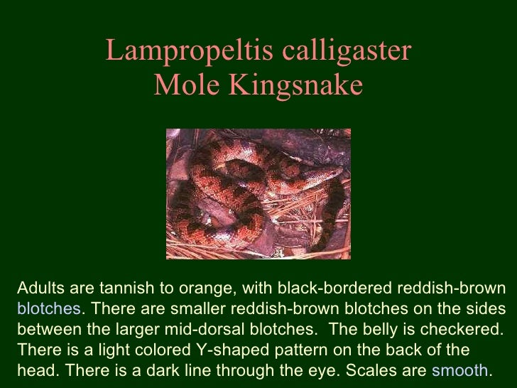 Lampropeltis calligaster Mole Kingsnake Adults are tannish to orange, with black-bordered reddish-brown  blotches . There ...