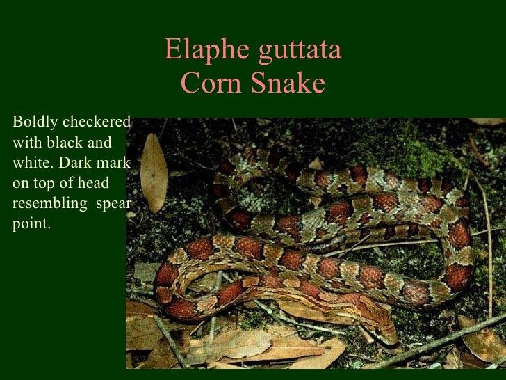 Elaphe guttata Corn Snake Boldly checkered with black and white. Dark mark on top of head resembling  spear point.