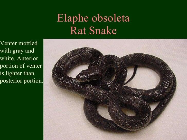 Elaphe obsoleta Rat Snake Venter mottled with gray and white. Anterior portion of venter is lighter than  posterior portion.