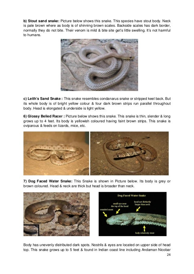 24 b) Stout sand snake: Picture below shows this snake. This species have stout body. Neck is pale brown where as body is ...