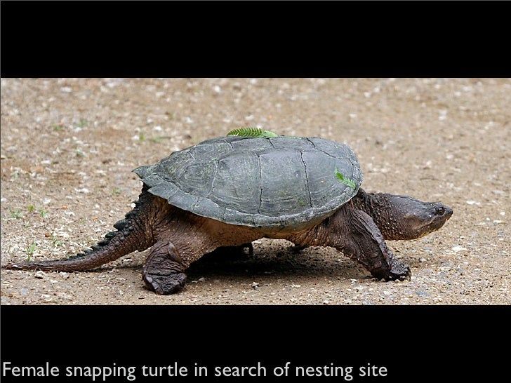 Female snapping turtle in search of nesting site