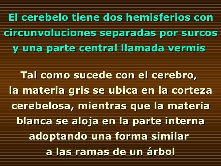 El cerebelo tiene dos hemisferios con circunvoluciones separadas por surcos y una parte central llamada vermis  Tal como s...