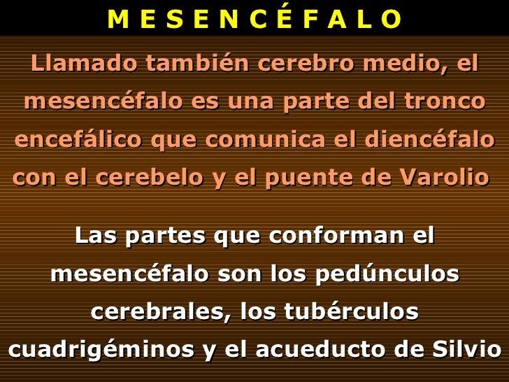 M E S E N C É F A L O Llamado también cerebro medio, el mesencéfalo es una parte del tronco encefálico que comunica el die...