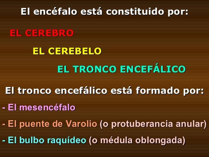 El encéfalo está constituido por: EL CEREBRO EL CEREBELO EL TRONCO ENCEFÁLICO El tronco encefálico está formado por: - El ...