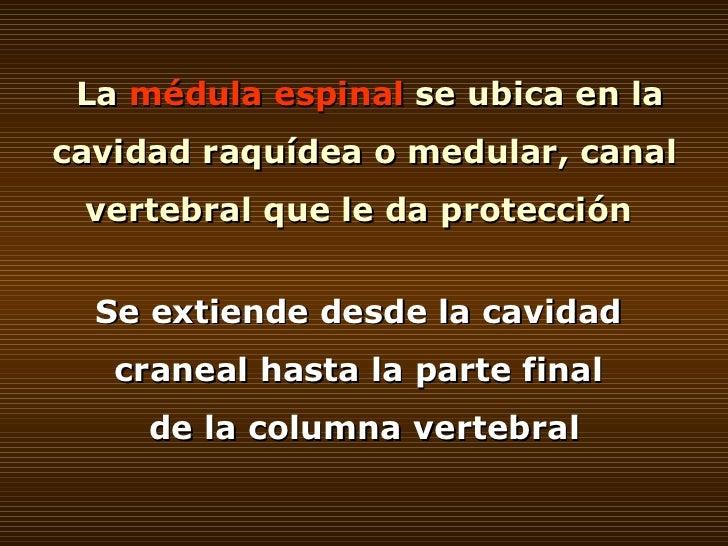 La  médula espinal  se ubica en la cavidad raquídea o medular, canal vertebral que le da protección  Se extiende desde la ...