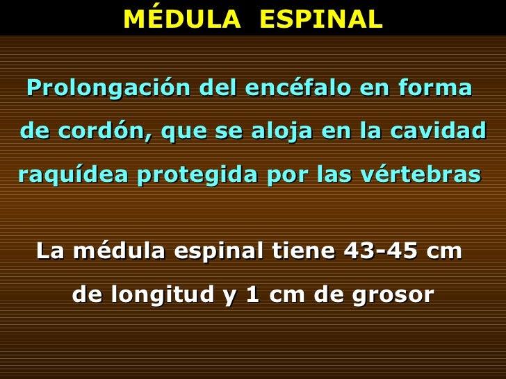 MÉDULA  ESPINAL Prolongación del encéfalo en forma  de cordón, que se aloja en la cavidad raquídea protegida por las vérte...