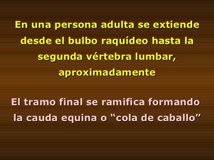 En una persona adulta se extiende desde el bulbo raquídeo hasta la segunda vértebra lumbar, aproximadamente El tramo final...