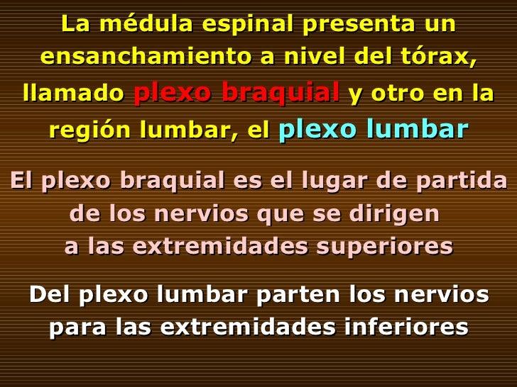 La médula espinal presenta un ensanchamiento a nivel del tórax, llamado  plexo braquial  y otro en la región lumbar, el  p...