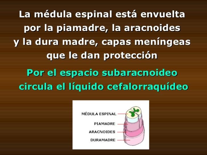 La médula espinal está envuelta  por la piamadre, la aracnoides  y la dura madre, capas meníngeas  que le dan protección  ...