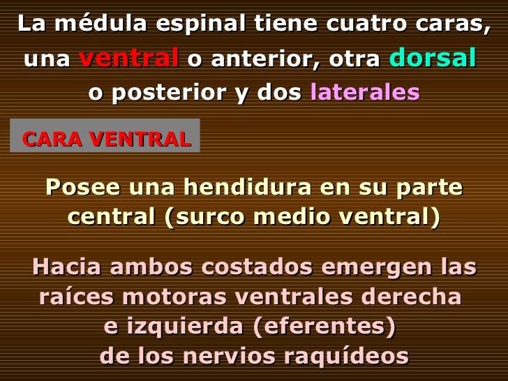 CARA VENTRAL La médula espinal tiene cuatro caras, una  ventral  o anterior, otra  dorsal   o posterior y dos  laterales P...