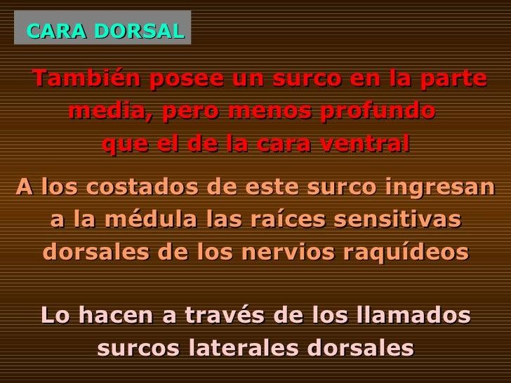 CARA DORSAL A los costados de este surco ingresan a la médula las raíces sensitivas dorsales de los nervios raquídeos Tamb...