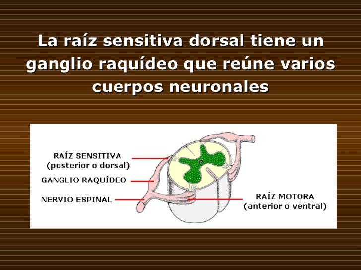 La raíz sensitiva dorsal tiene un ganglio raquídeo que reúne varios cuerpos neuronales