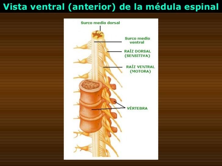 Vista ventral (anterior) de la médula espinal