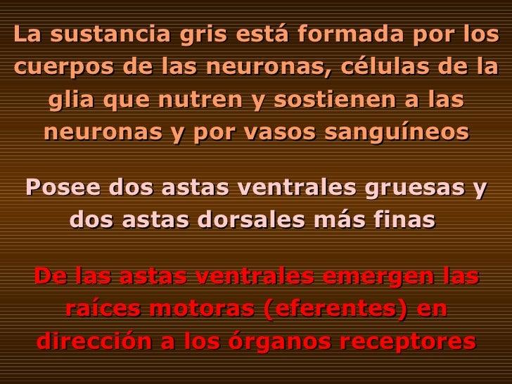 La sustancia gris está formada por los cuerpos de las neuronas, células de la glia que nutren y sostienen a las neuronas y...