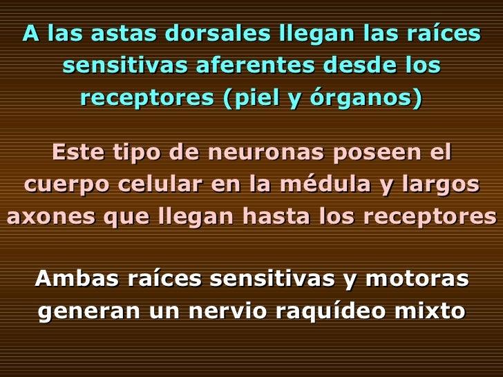 A las astas dorsales llegan las raíces sensitivas aferentes desde los receptores (piel y órganos) Este tipo de neuronas po...