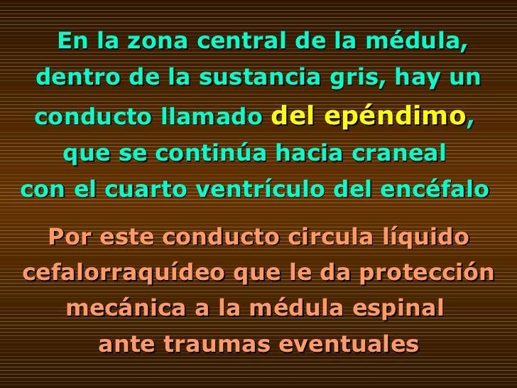 En la zona central de la médula, dentro de la sustancia gris, hay un conducto llamado  del epéndimo ,  que se continúa hac...