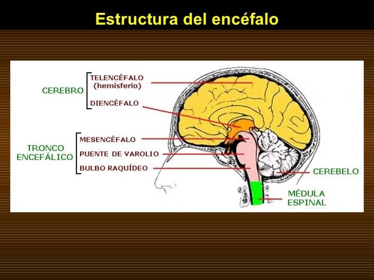 Estructura del encéfalo