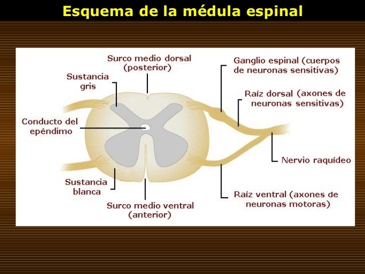 Esquema de la médula espinal