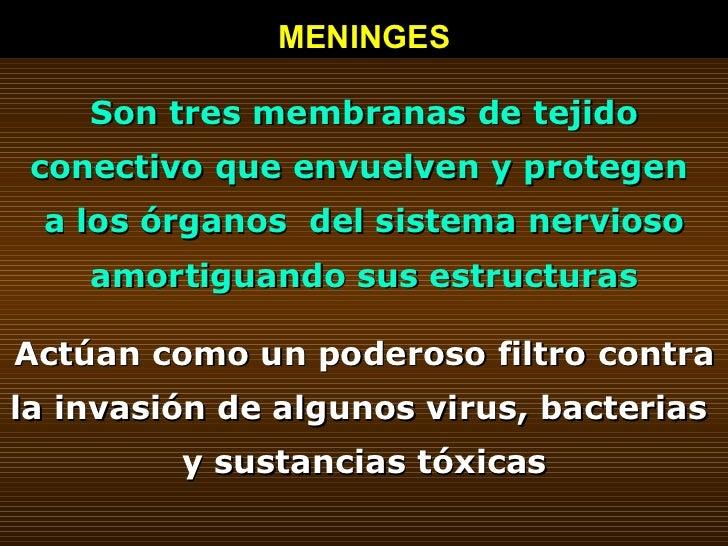 MENINGES Son tres membranas de tejido conectivo que envuelven y protegen  a los órganos  del sistema nervioso amortiguando...