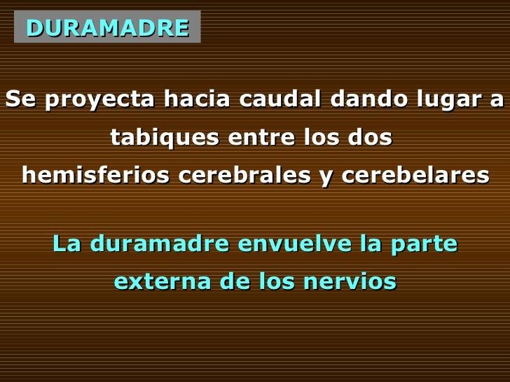 DURAMADRE Se proyecta hacia caudal dando lugar a tabiques entre los dos  hemisferios cerebrales y cerebelares La duramadre...