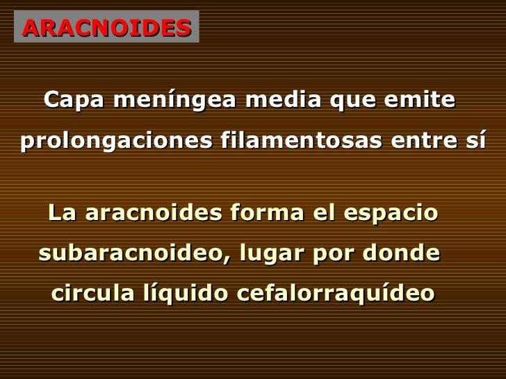 ARACNOIDES Capa meníngea media que emite  prolongaciones filamentosas entre sí La aracnoides forma el espacio subaracnoide...