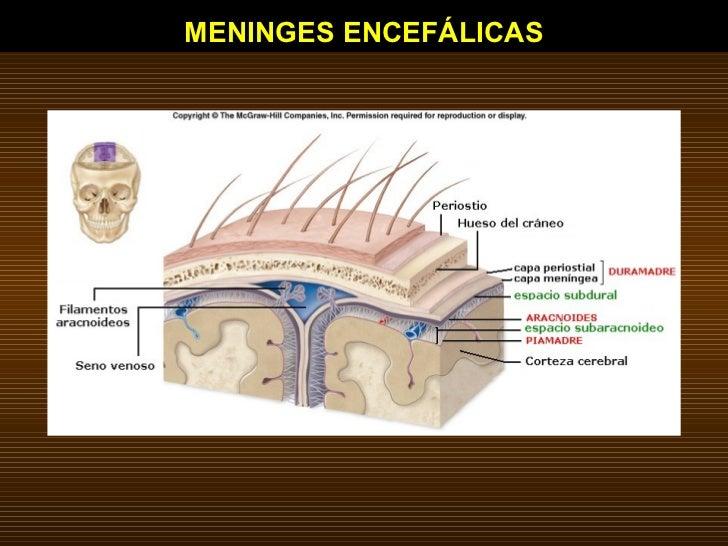 MENINGES ENCEFÁLICAS
