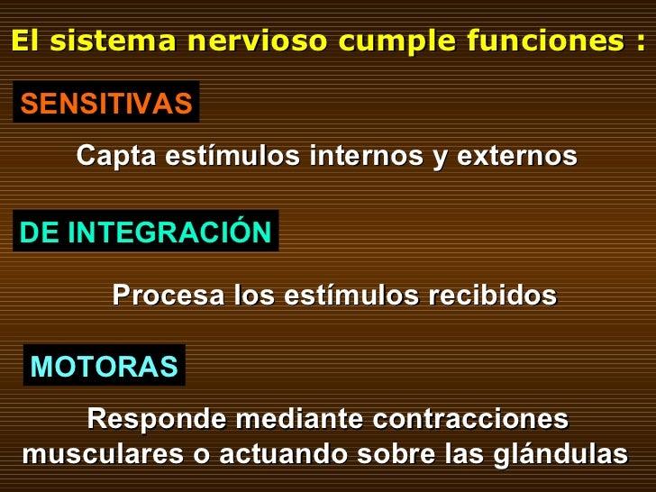El sistema nervioso cumple funciones : SENSITIVAS DE INTEGRACIÓN MOTORAS Capta estímulos internos y externos Procesa los e...