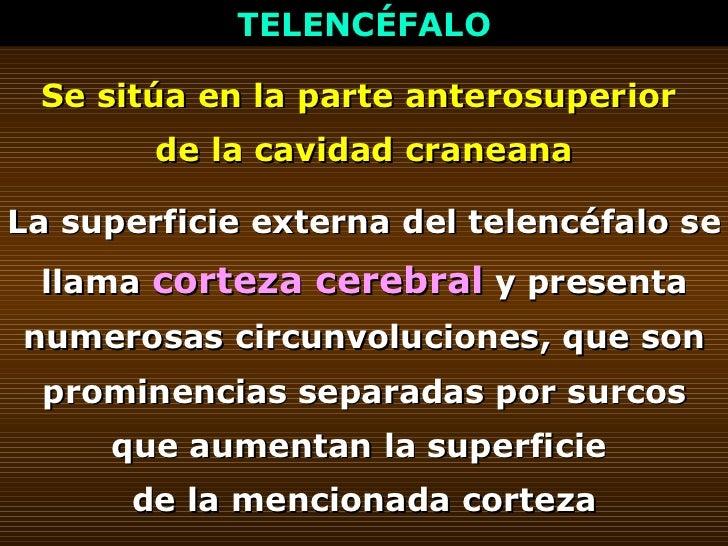 TELENCÉFALO Se sitúa en la parte anterosuperior  de la cavidad craneana La superficie externa del telencéfalo se llama  co...