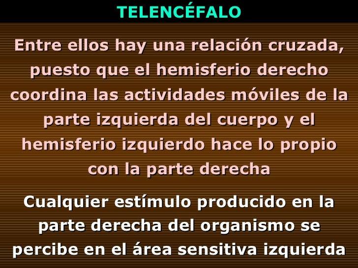 TELENCÉFALO Entre ellos hay una relación cruzada, puesto que el hemisferio derecho coordina las actividades móviles de la ...