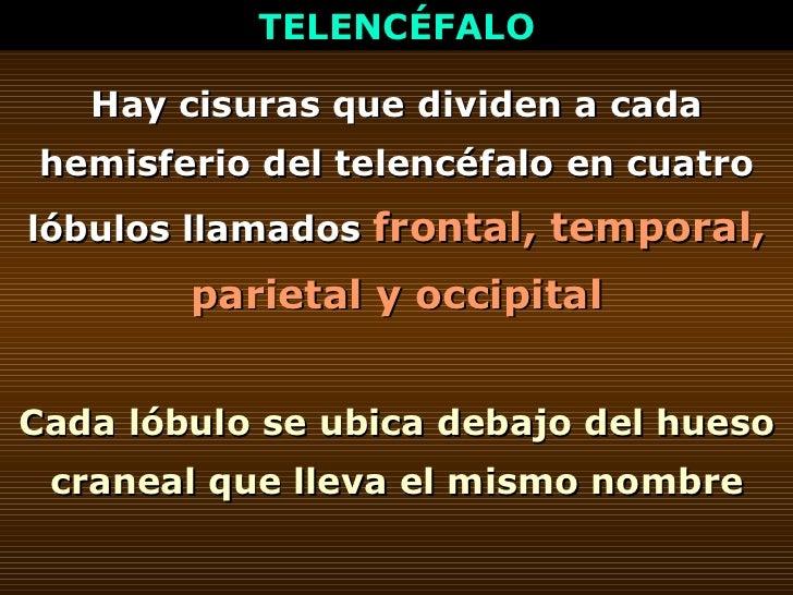 TELENCÉFALO Hay cisuras que dividen a cada hemisferio del telencéfalo en cuatro lóbulos llamados   frontal, temporal, pari...