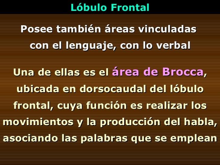 Posee también áreas vinculadas  con el lenguaje, con lo verbal Una de ellas es el  área de Brocca , ubicada en dorsocaudal...
