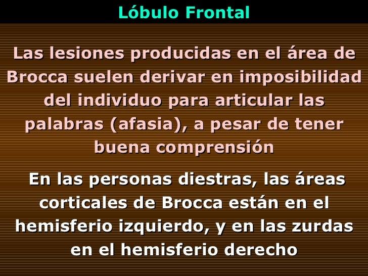 Las lesiones producidas en el área de Brocca suelen derivar en imposibilidad del individuo para articular las palabras (af...