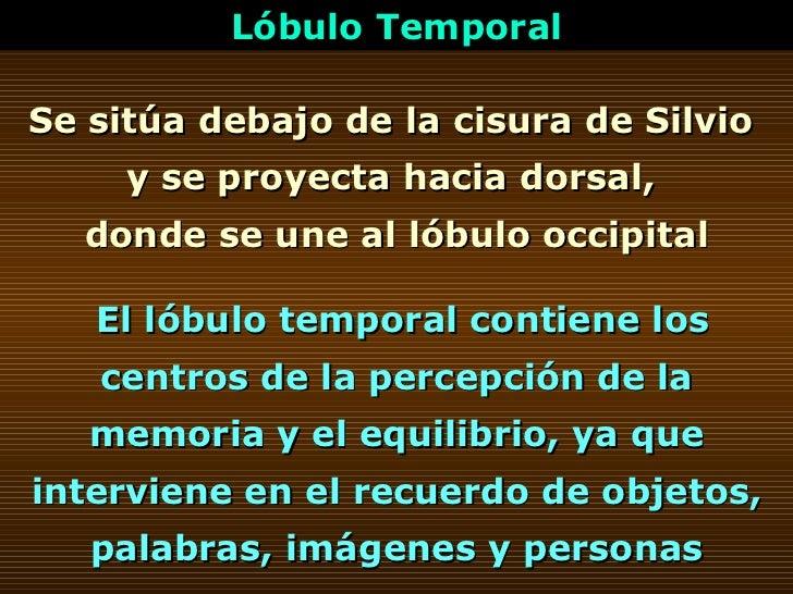Se sitúa debajo de la cisura de Silvio  y se proyecta hacia dorsal,  donde se une al lóbulo occipital Lóbulo Temporal El l...