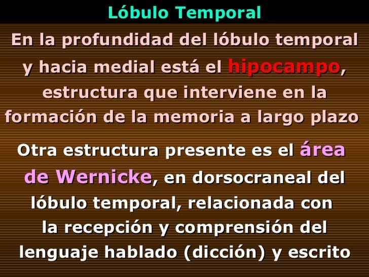 En la profundidad del lóbulo temporal y hacia medial está el  hipocampo , estructura que interviene en la formación de la ...
