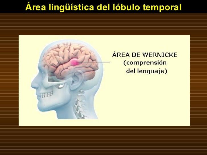 Área lingüística del lóbulo temporal