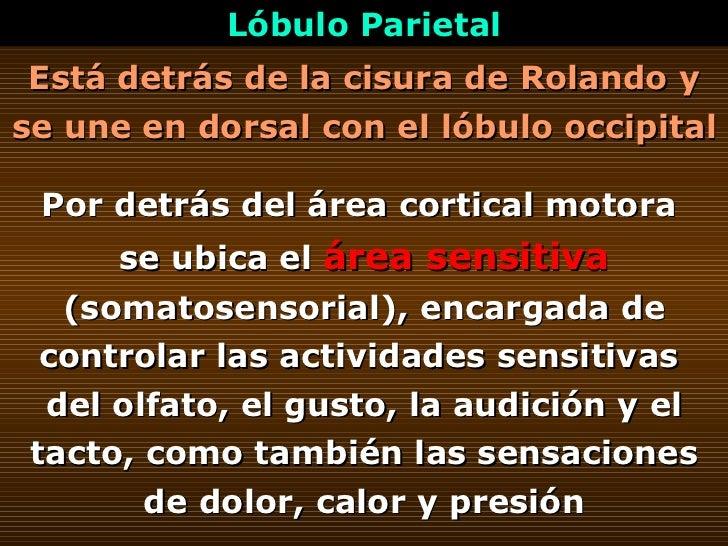Está detrás de la cisura de Rolando y se une en dorsal con el lóbulo occipital   Lóbulo Parietal Por detrás del área corti...