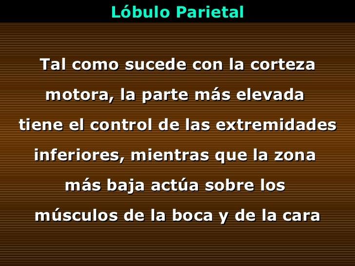 Lóbulo Parietal Tal como sucede con la corteza motora, la parte más elevada  tiene el control de las extremidades inferior...
