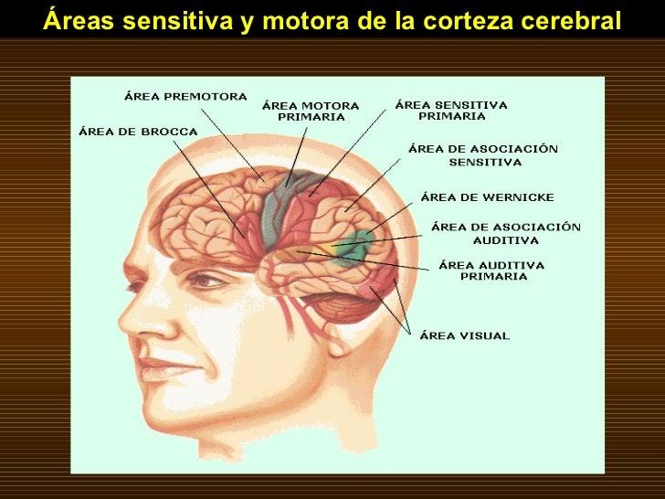 Áreas sensitiva y motora de la corteza cerebral
