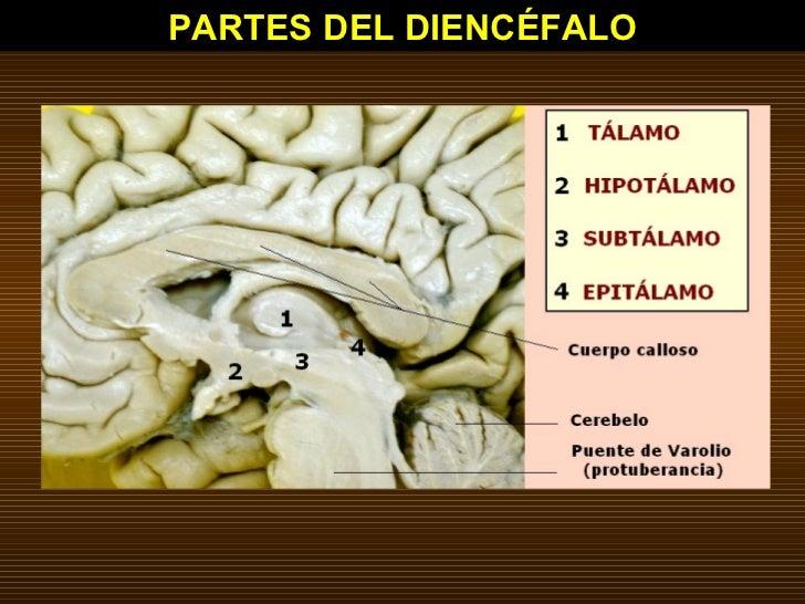 PARTES DEL DIENCÉFALO