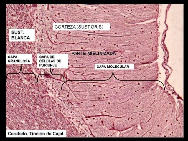 S.N.C - Cerebelo (Histología)