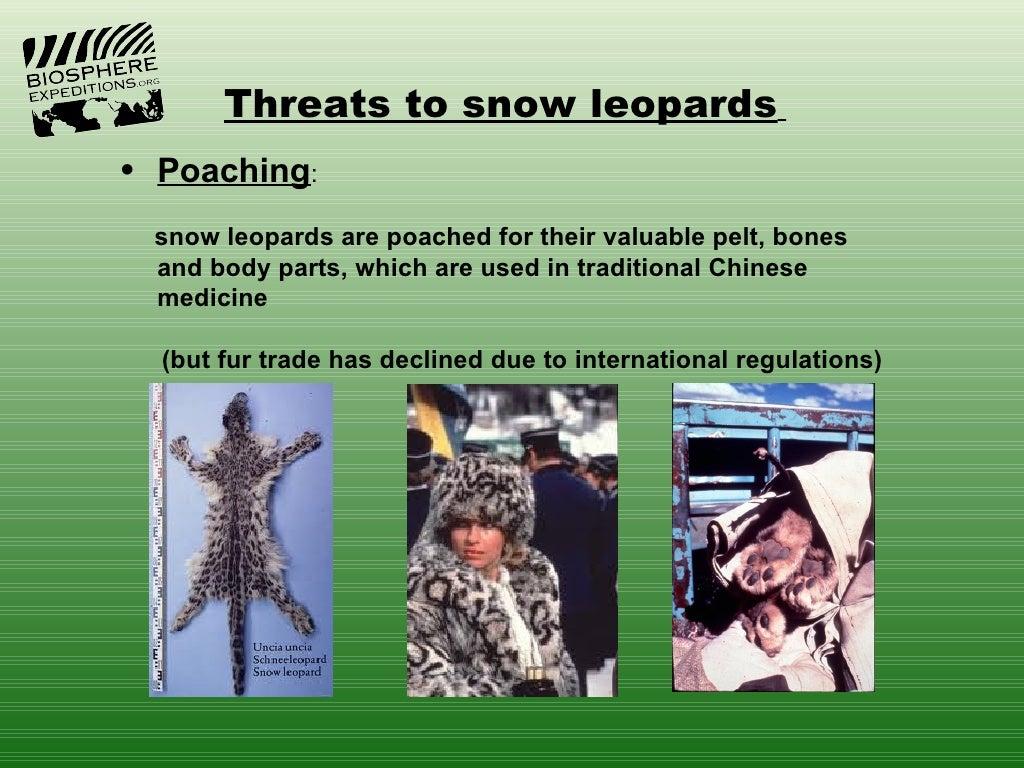 Snow leopard poaching - photo#55