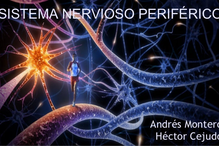 Sistema Nervioso Periférico Andrés Montero y Héctor Cejudo SISTEMA NERVIOSO PERIFÉRICO Andrés Montero Héctor Cejudo