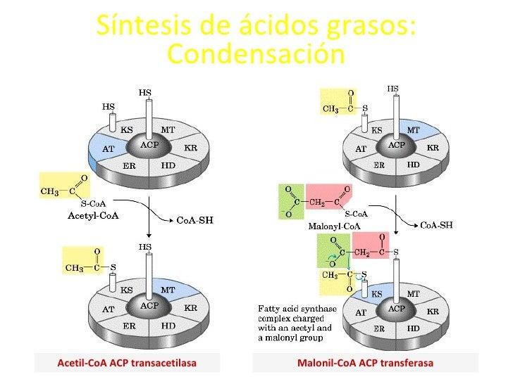 Síntesis de ácidos grasos: Condensación Acetil-CoA ACP transacetilasa Malonil-CoA ACP transferasa