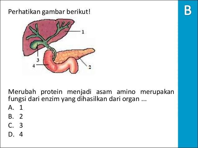 Soal biologi un 2012 skl no.29 sistem pencernaan