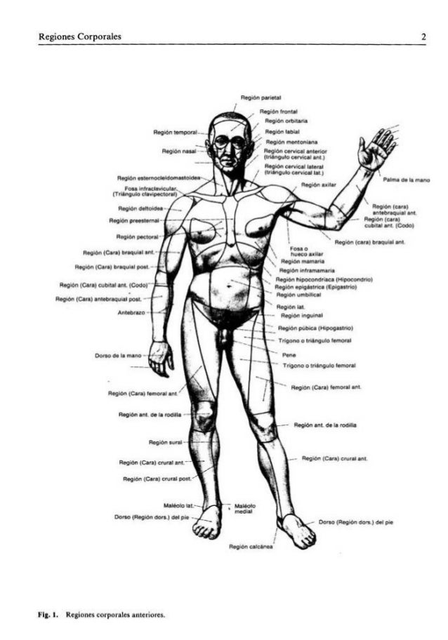 Vistoso Región De La Anatomía Mentales Embellecimiento - Anatomía de ...